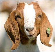 goat_2_1901